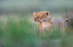 lionceau-155749.jpg