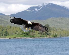 アラスカクルーズで出会える生物、白頭鷲