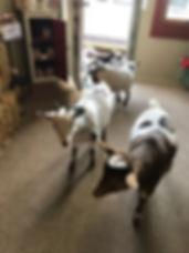 goats9.jpg