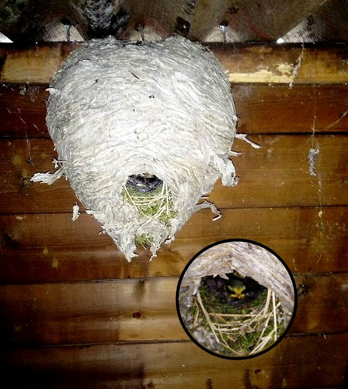 Baby birds in abandoned wasps nest