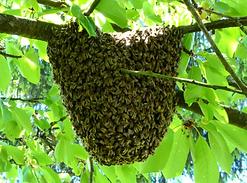 essaim_abeilles_10_mai_2015.png