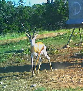 Springbok Shooter.JPG
