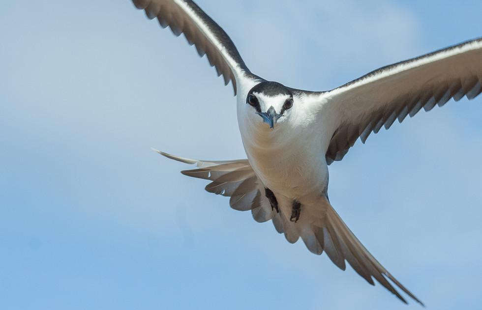 Ascension Island 'Wideawake'