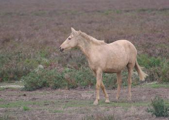 Marismeno Donana wild horse