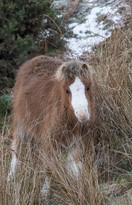 Welsh Mountain Pony Foal