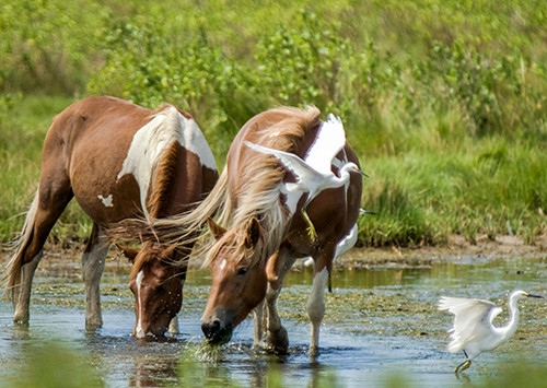 Assateague ponies with egrets