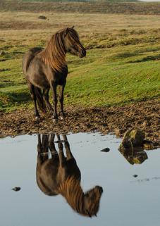 Dartmoor stallion reflection
