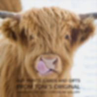 licky cow for webpage.jpg
