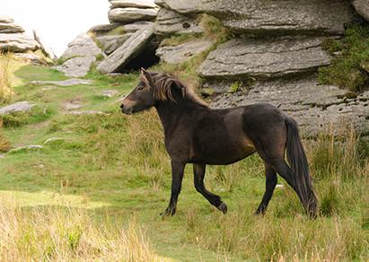 Dartmoor trotting Bellever Tor