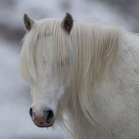 Welsh Mountain Pony