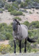 Pryor Mountains Mustang