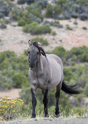 Pryor Mountains Mustang
