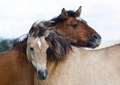 Estonian Horses