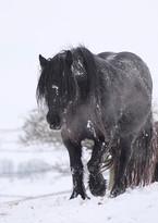 Fell pony