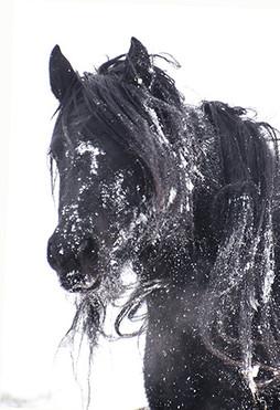 Fell pony head