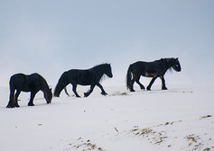 Fell pony group in snow