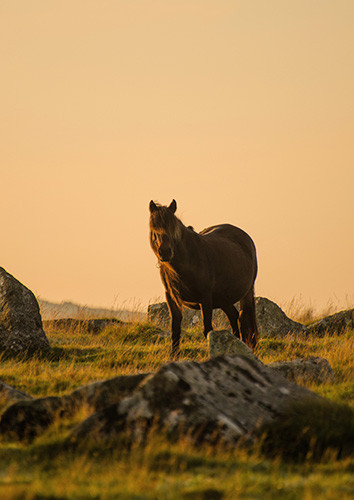 Dartmoor mare at sunset