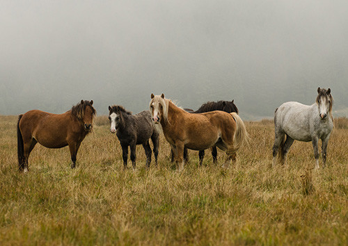 Welsh Mountain Pony Herd