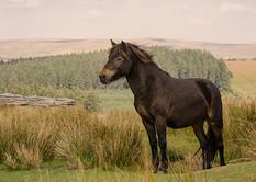 Dartmoor mare on hill Bellever Tor