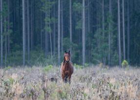 Australian Brumby Stallion