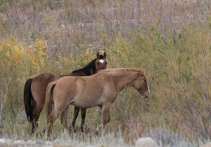 Pryor Mountains Mustangs