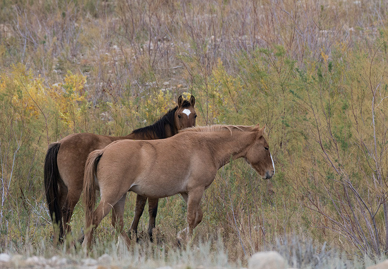 Pryor Mountains Mustangs