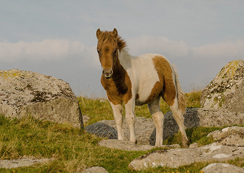 Coloured dartmoor foal
