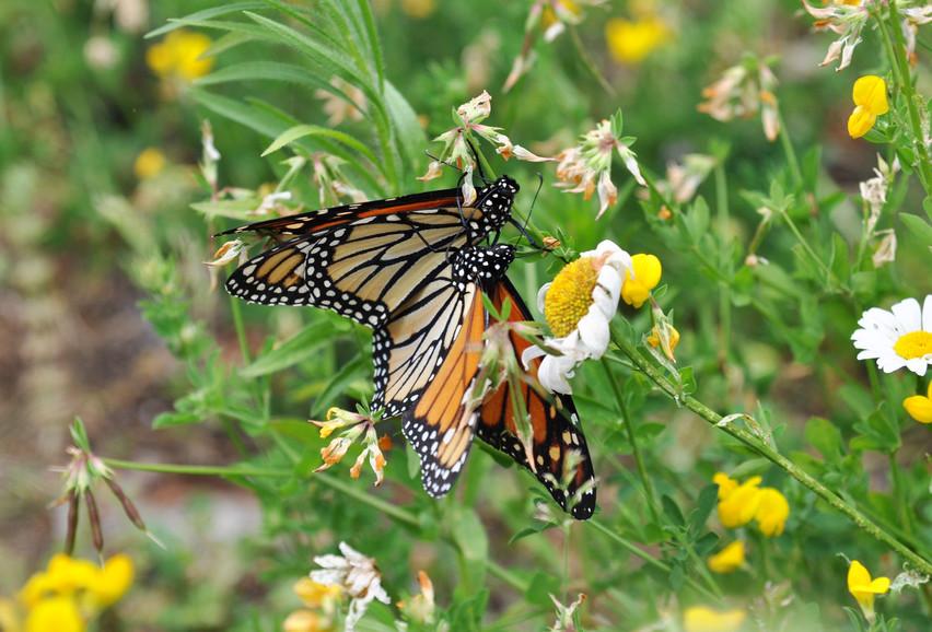 Butterflies mating 3