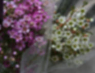 Waxflower Consumer Bunches Grower Bunches