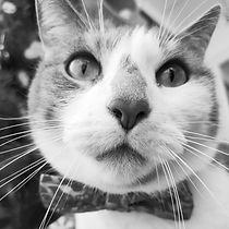 Mulder, chat gris et blanc
