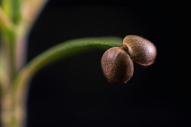 bigstock-Macro-detail-of-cannabis-sprou-