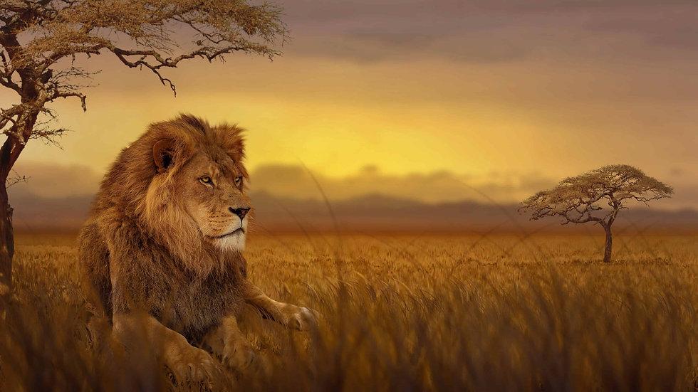 lion-african-savannah-uhd-4k-wallpaper.j