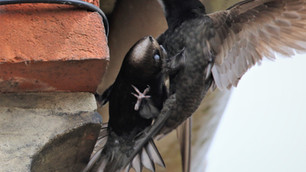 Swifts at Station Hill