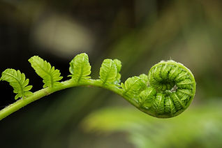 Fern fiddlehead unfurling with selective