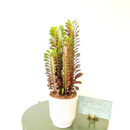 Euphorbia Trigona Royal Red