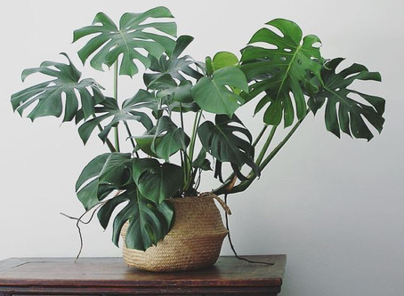 O bir efsane: Monstera Deliciosa!