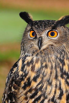 european-eagle-owl-2010346_1920.jpg
