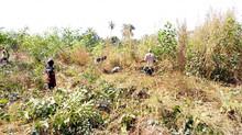 Entretien des espaces reboisés à Kamsar (Boké)