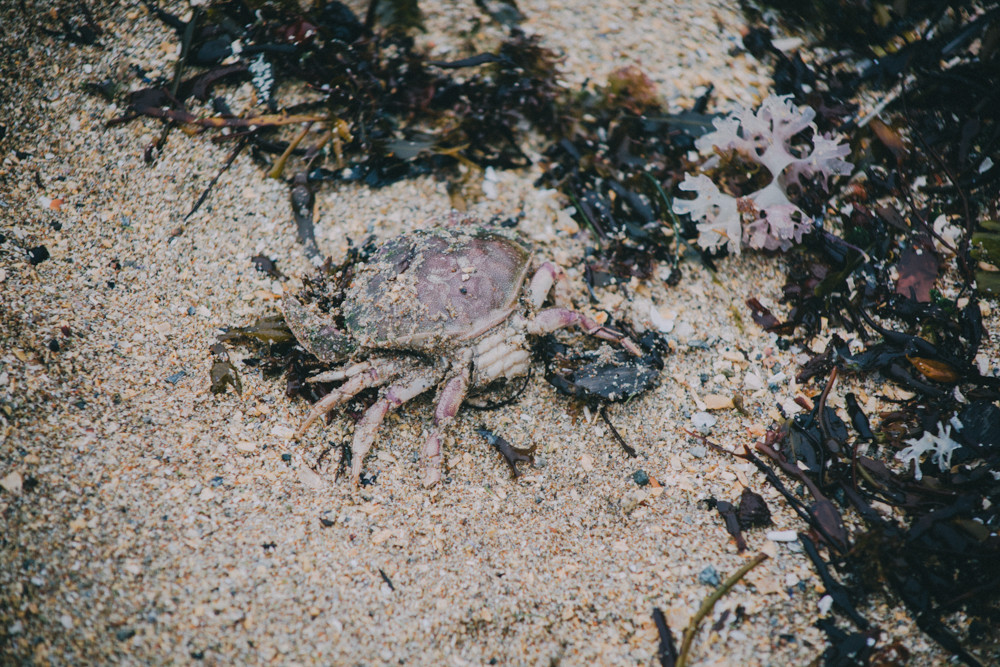 Crab washed up on the beach, Maine