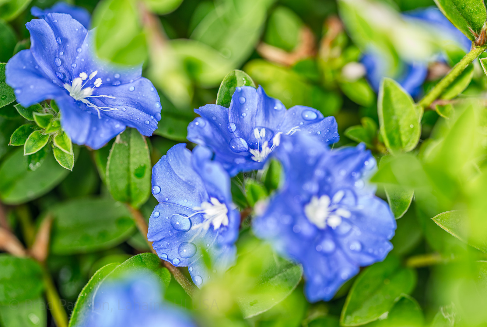 Brad paulson photography who knew this is what groundcover looks like up close this is a macro shot of blue daze a not uncommon landscape groundover here in hawaii the flowers izmirmasajfo