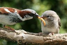House Sparrow male feeding young-4.jpg