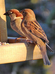 male-and-female-sparrow01pl.jpg
