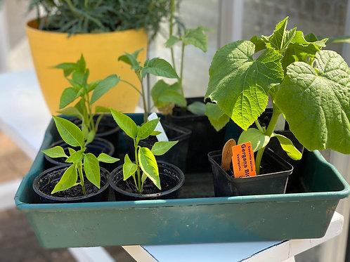 Bio- Gemüsejungpflanzen 6 er Set (KEIN VERSAND)