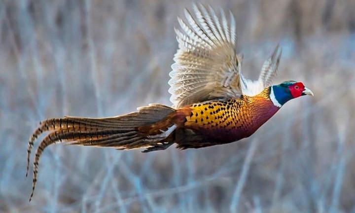 Pheasant Paradise