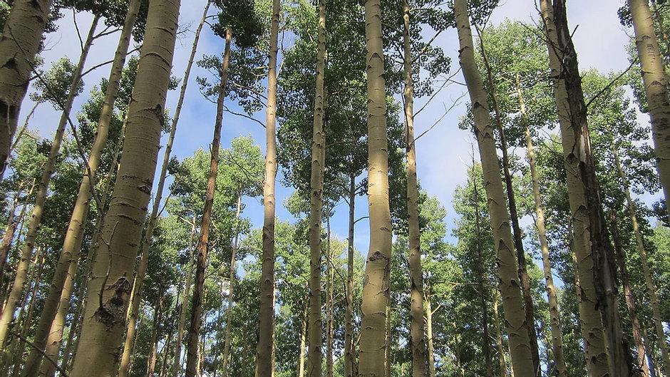 Looking up through Apsen Trees in the summer, Santa Fe NM