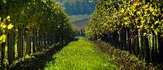 vineyard-998487_1920.jpg