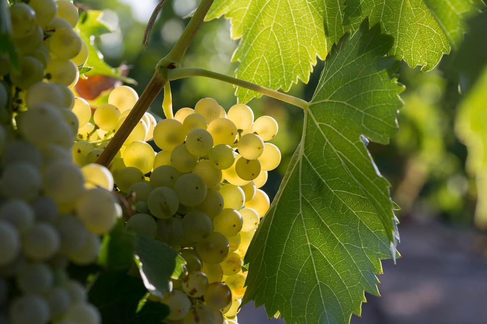 Vinas y uvas-1019.jpg