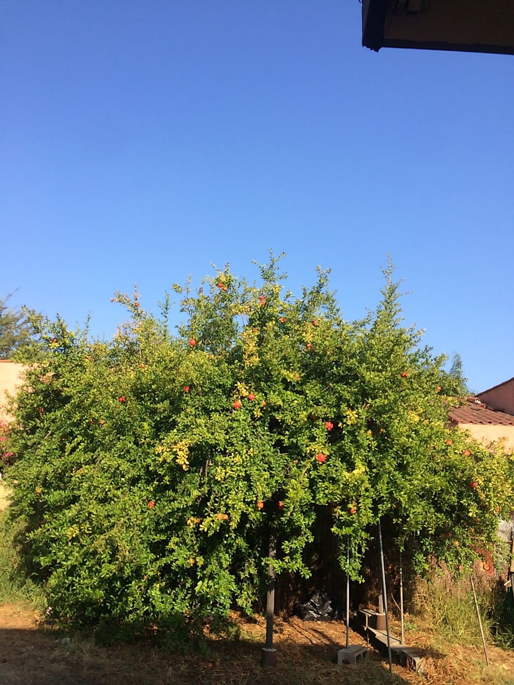 The warm, dry climate of Southern California is perfect for growing pomegranate trees.