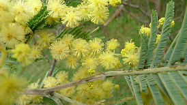 Sustainable_wattle-Australiawildflowerje