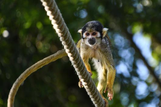 Monkey - Amazon Rainforest